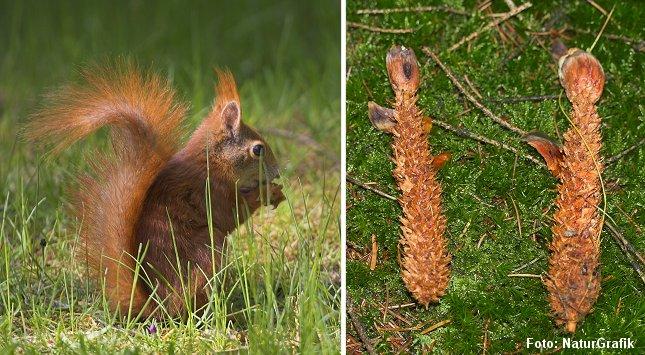 Særligt om vinteren er grankogler en vigtig fødekilde for egernet - og man kan i skoven ofte finde afgnavne kogler. Mus gnaver også kogler, men musegnav er tættere og finere og ikke så flosset som hos egernet.