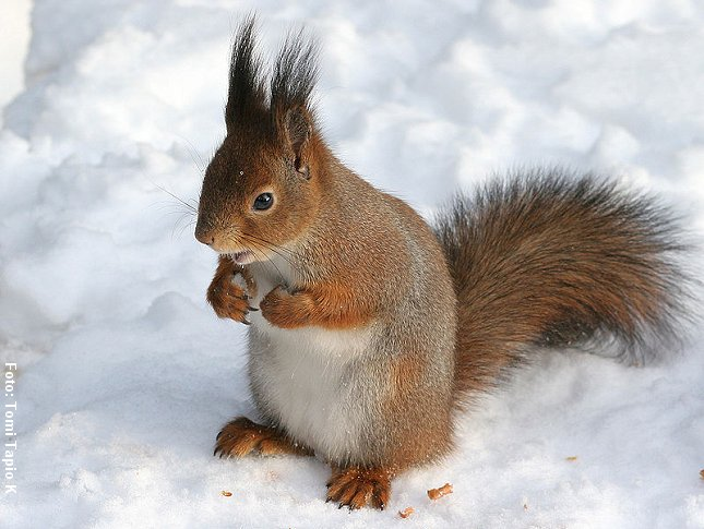 Egernet kan samle og gemme forråd til vinteren. Foto: Tomi Tapio K, Wikipedia.