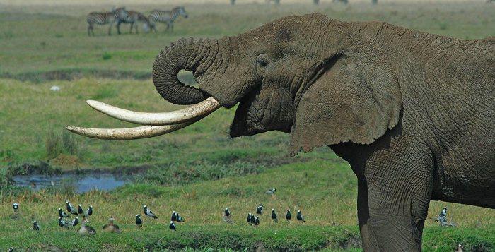 Hvert år dræbes ca. 30.000 elefanter illegalt. Det er elefanternes stødtænder i form af elfenben, der er årsag til den illegale jagt. Foto: Wikimedia Commons.