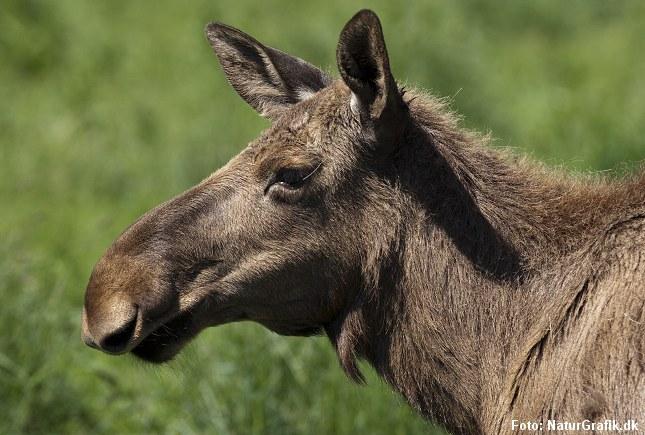 For første gang er en europæisk elg konstateret smittet med den amerikanske hjortesygdom CWD.