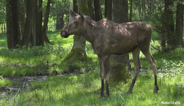 Elgen er på vej tilbage som naturplejer i Danmark efter 5000 års fravær.