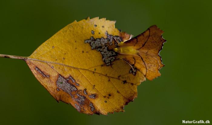 Den gule natsværmer viste sig at være en elle-tandmåler med en udsøgt kamuflage-egenskab netop på grundlag af dens gule farver. Her på et birkeblad, hvor også elle-tandmålerens larver lever.