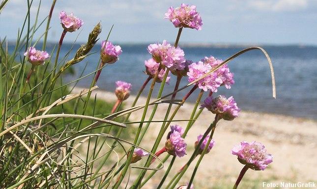 """det latinske maritima betyder """"ved havet"""". Netop kystnære strandenge er et yndet voksested for planten."""