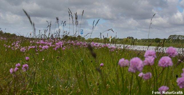 Hvor saltet ødelægger vækstforholdene for de fleste planter har engelskgræs tilpasset sig et liv med salt og trives derfor langs de saltede vejrabatter.