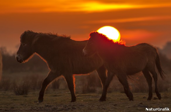 To exmoorponyer i solnedgang. Hestene har klaret sig selv på øen siden 2010.