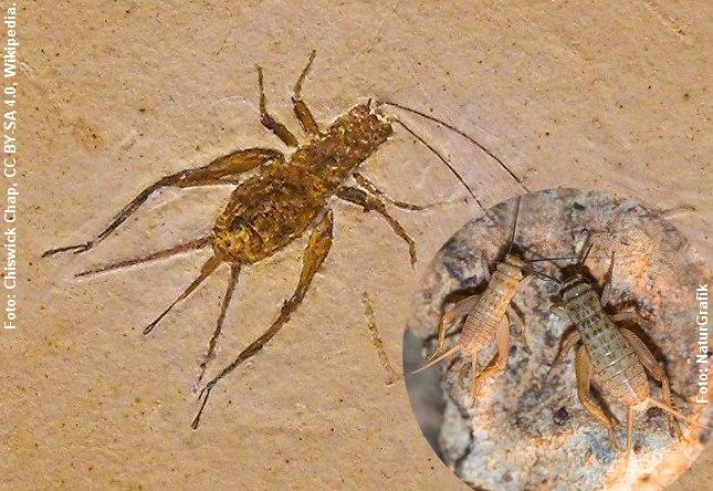 Fossil af fårekylling, der er flere millioner år gammelt. Til højre en nutidig fårekylling. Ligheden er slående. Foto: Foto: Chiswick Chap, CC BY-SA 4.0, Wikipedia og NaturGrafik.dk.