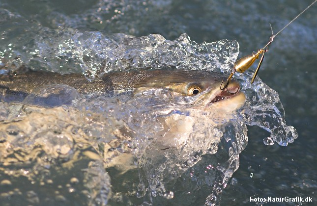 Snapshot af en ørred, der er kroget af en lystfisker.