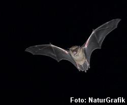 Oldenborren kan høre den jagende flagermus i mørket.
