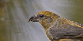 Korsnæb - Danmarks papegøje
