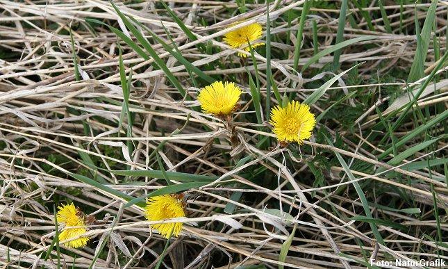 Følfod er en af forårets tidligste blomster.