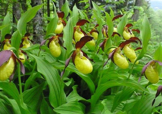 Orkidéen Fruesko vokser kun to steder i Danmark. Foto: Manuguf, CC BY-SA 3.0, Wikipedia.