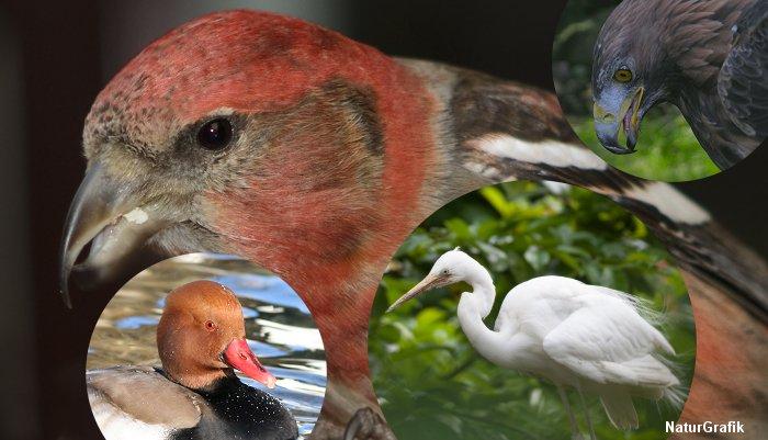 En stor fugletælling viser at der er kommet 8 nye fuglearter til landet. Foto viser hvidvinget korsnæb, rødhovedet and, sølvhejre og kongeørn.
