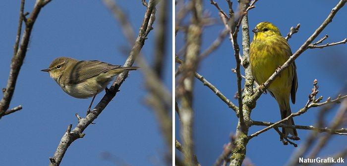 Sangfugle som løvsangeren trækker syd på om efteråret og vender tilbage om foråret. Andre som gulspurven er standfugle og klarer sig igennem den danske vinter.