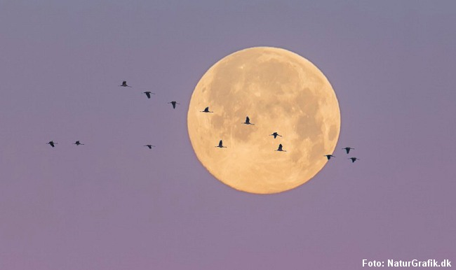 Traner passerer måneskiven. Supermånen lyser ca. 30 % kraftigere end normalt og kan give nogle søvnproblemer.