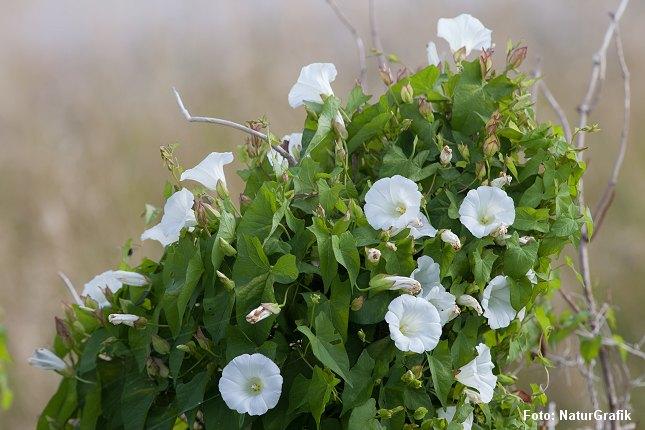 Gærdesnerlen blomstrer med store, tragtformede blomster.