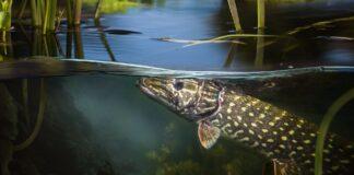 Yngletid for gedden - søens største rovfisk