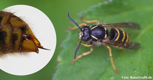 Hvepsen kan stikke flere gange. Den har ikke modhager på sin stikbrod. Foto: NaturGrafik.