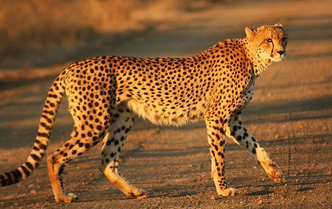 Geparden løber langsommere end hidtil troet viser nye undersøgelser fra et engelsk naturprogram. Foto: Mukul2u, Wikimedia.