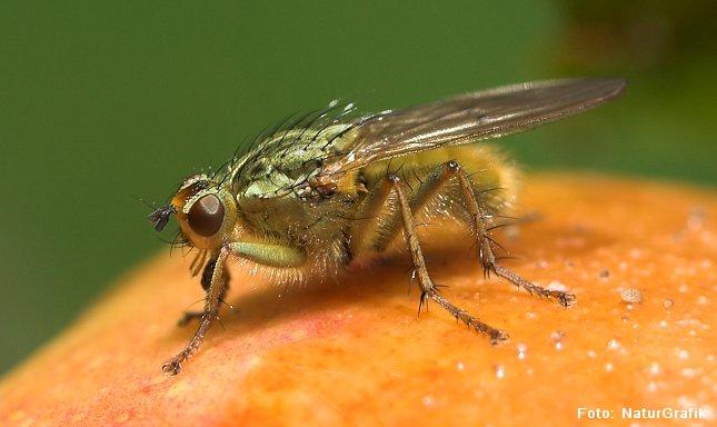 Gødningsflue. Den almindelige gødningsflue ses ofte på friske kokasser og hestepærer. Flere arter af gødningsfluer er dog ikke knyttet til gødning, men lever i stedet på planter.