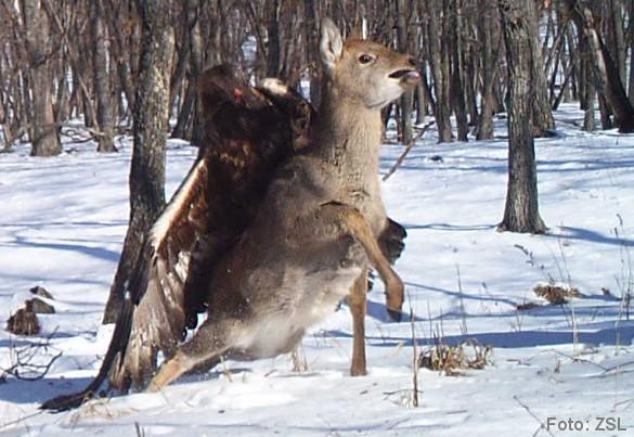 Fanget af automatisk vildtkamera: Kongeørn angriber sikahjort. Billederne bringes med tilladelse fra Zoological Society of London.