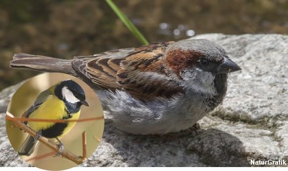Fuglenes fjerdragt kan afsløre rang og styrke. Her hos en musvit-han og en gråspurvehan. Foto: Niels Lisborg