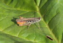 Danmarks græshopper