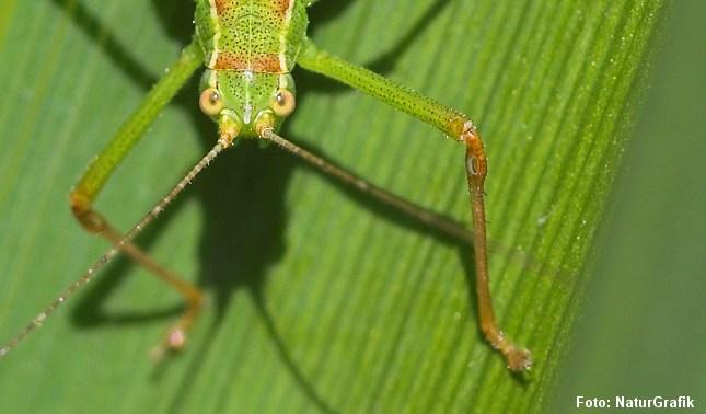 I Danmark har vi omkring 35-40 arter af græshopper.