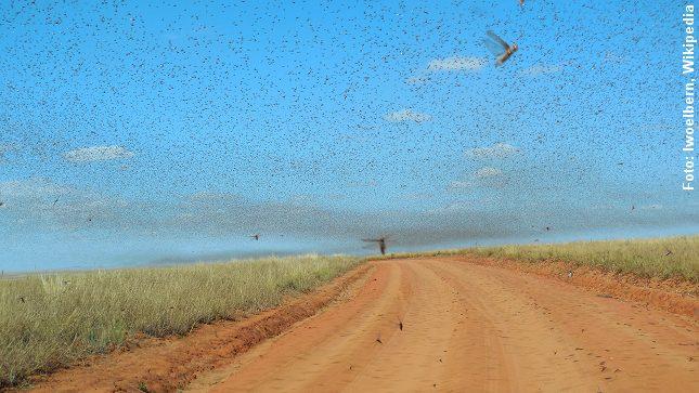 Tusinder af græshopper i en kæmpe sværm. Her på Madagaskar. Foto: Iwoelbern, Wikimedia.