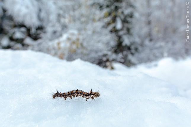 graesspinder_vinter