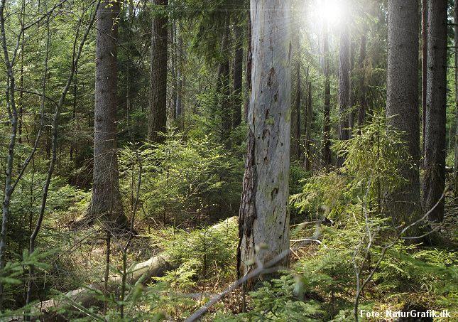 Mange arter i Danmark er særligt tilknyttet granskoven. Det gælder fugle som sortmejsen og arter af korsnæb.