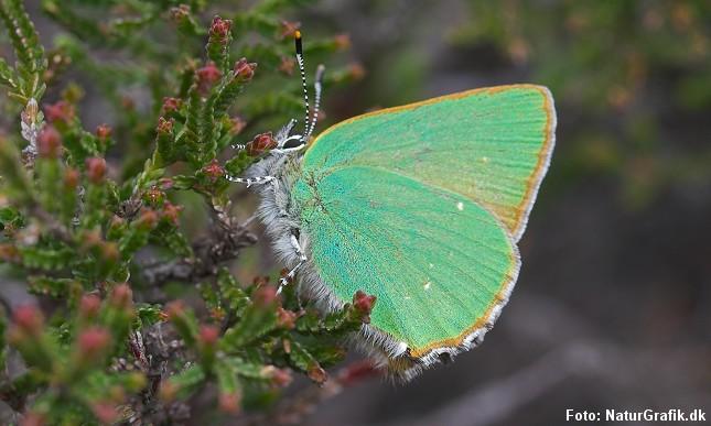 Grøn busksommerfugl (Callophrys rubi) blev tidligere kaldt for Brombærsommerfugl.