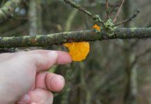 Vintersvampe - her gul bævresvamp