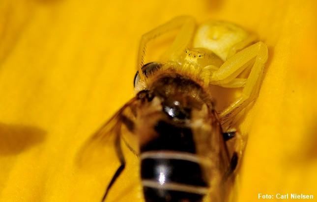 Her har den samme art, Kamæleonedderkoppen, klædt sig i gult og overrasket en svirreflue. Foto: Carl Nielsen.