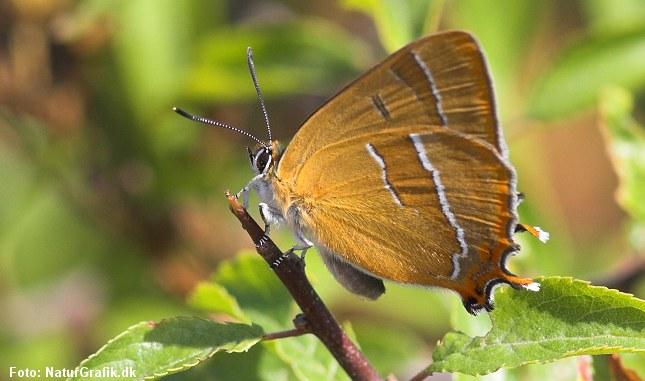 Guldhale er en af Danmarks smukke sommerfugle, men den er fåtallig og trængt i dele af landet.