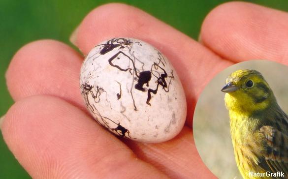 Gulspurven er en sand abstrakt kunstner når det kommer til æg-dekorering.