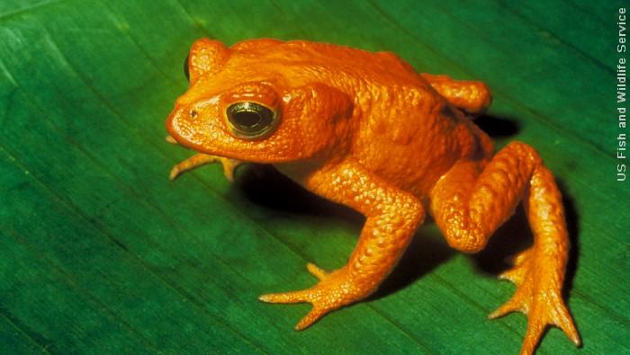 Arternes tilbagegang og uddøen er endnu ikke bremset trods politiske intentioner. Denne gyldne tudse (Bufo periglenes) er en af de arter, der er forsvundet fra jorden i nyere tid. Foto: US Fish and Wildlife Service.