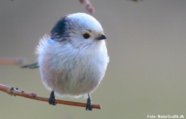De, kønne små halemejser er ret sociale og sover gerne flere sammen for at holde varmen om vinteren.