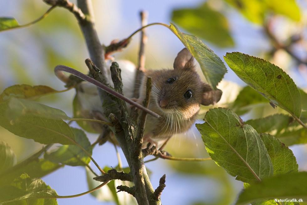 Halsbåndsmusen er en behændig klatrer. Arten er den største mus, der gerne søger logi indenfor for vinteren.