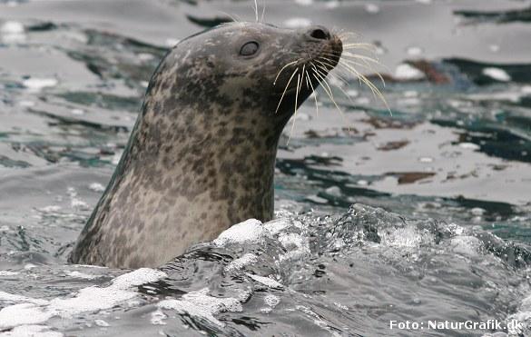 Bestanden af Spættet Sæl er vokset kraftigt i de senere år og giver flere konflikter med fiskerne, der ønsker jagt på de fiskespisende konkurrenter.
