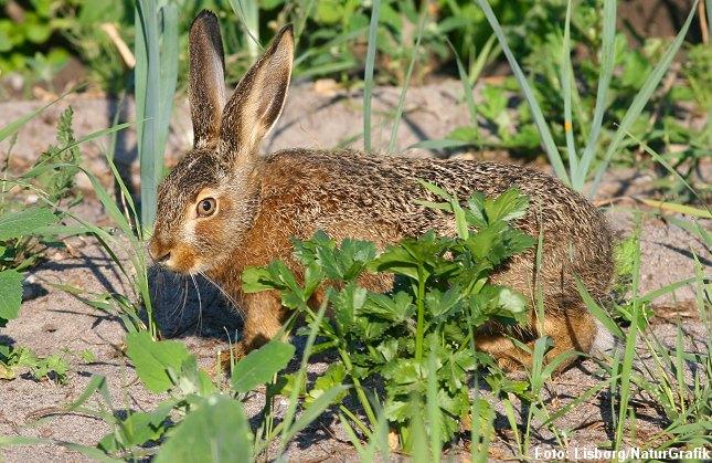 """Haren er ikke altid lige populær. I skovbruget kan den være hård ved nyplantede løvtræer. I haver kan den gnave bark og """"klippe"""" grene af nyplantede frugttræer. Her en ung hare i køkkenhaven."""