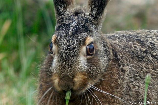 Harens øjne er store og sidder fremhævet på siden af hovedet. Det betyder at haren kan se næsten hele vejen rundt uden at dreje hovedet.