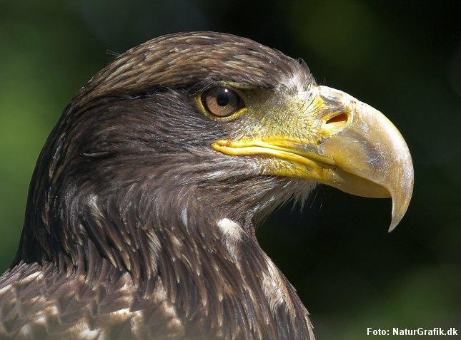 Ny rapport viser fremgang for de fleste, danske rovfuglearter. Bl.a. havørnen.