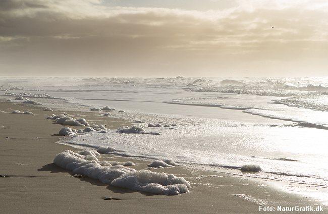 Skum dannet af algen Phaeocystis. Denne type skum bliver gerne liggende længe på stranden.