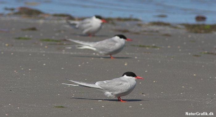 Havternen trækker længere end nogen anden fugl