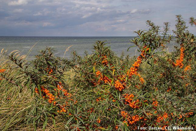 Havtornbuske ses ofte ved kysten. Foto: Foto: Derzno, CC, Wikimedia.