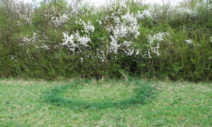 Heksering i græsplæne, hvor svampens frugtlegemer ikke er synlige. Foto: Claus Ableiter, Wikimedia.