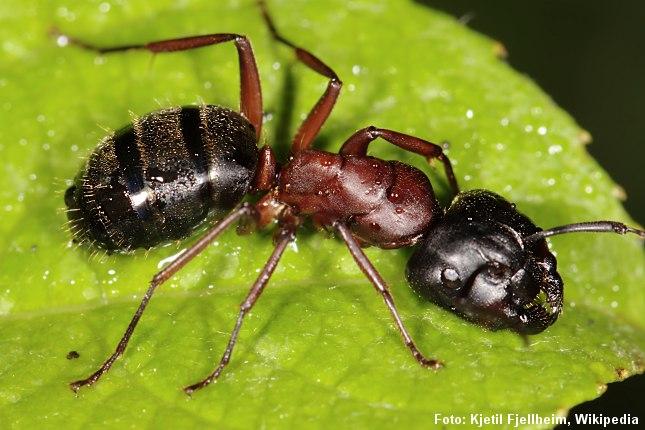 Herkulesmyren er Danmarks største myreart. Foto: Kjetil Fjellheim, Wikipedia Creative Commons.