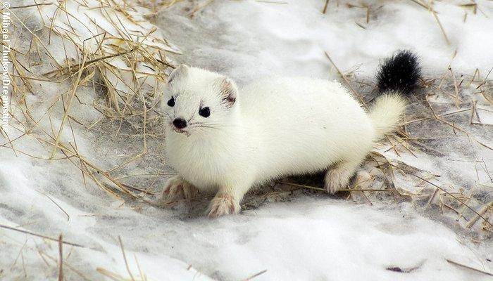 Lækatten kaldes også for hermelin når den bærer sin hvide vinterdragt. Foto: Mihael Zukow/Dreamstime.