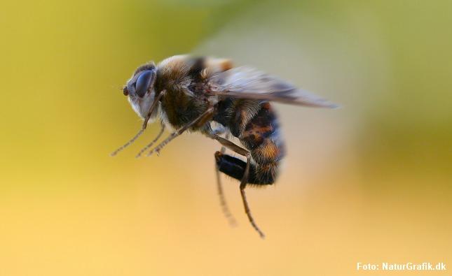 Hestebremse. Det er en udbredt misforståelse at bremser kan stikke eller bide. De store fluer gør ingen af delene.