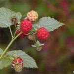 hindbærmarmelade